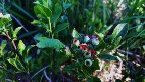 Свежая дикая органическая дикая голубика Буш с предыдущими зелеными незрелыми ягодами в лесе видеоматериал