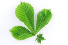 свежая зеленая весна листьев Стоковые Изображения RF