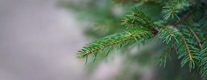 Свежая зеленая ветвь ели растя снаружи панорамно стоковое фото rf