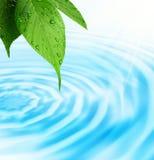 свежая зеленая вода листьев Стоковые Фотографии RF