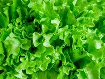 Свежая зеленая естественная предпосылка салата салата лето сада Стоковые Фотографии RF
