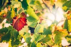 Свежая зеленая лоза виноградин на предпосылке bokeh белизна осени изолированная принципиальной схемой Стоковые Изображения RF