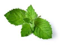 свежая зеленая мята Стоковое фото RF