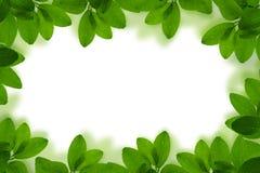 Свежая зеленая рамка лист с падениями воды изолированная на белом backgr Стоковые Фото