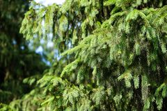 Свежая зеленая сосна разветвляет в солнечном лесе Стоковые Изображения