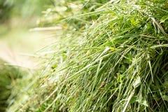 Свежая зеленая трава для коров или корма для животных стоковая фотография