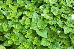 Свежая зеленая трава пипермента также использована целебно как травяной чай стоковые фотографии rf