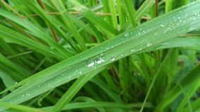 Свежая зеленая трава с текстурой предпосылки природы воды падения стоковые фото