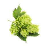 Свежая зеленая ветвь хмеля, изолированная на белой предпосылке стоковая фотография
