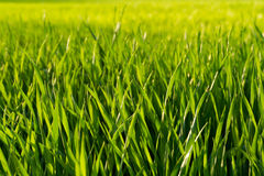 Свежая зеленая деталь поля весны Стоковое Фото