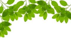 Свежая зеленая рамка лист с падениями воды изолированная на белом backgr Стоковые Фотографии RF