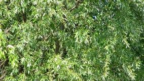 Свежая зеленая сочная листва вербы дунутая ветром весной акции видеоматериалы
