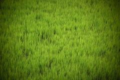 Свежая зеленая текстура рисовых полей Стоковая Фотография