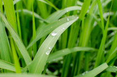 Свежая зеленая трава весны с падениями росы Стоковое Фото
