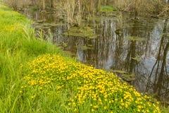 Свежая зеленая трава и лютики желтого цвета зацветая на краю стоковое фото rf