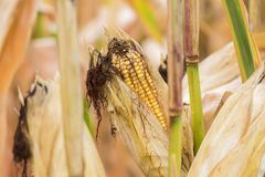 Свежая зрелая мозоль все еще на черенок в поле, niblets и silk peekin Стоковые Изображения RF