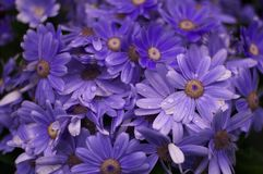 свежая и напористая фиолетовая хризантема Стоковое Фото