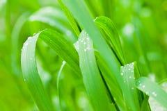 Свежая и сочная трава Стоковое Изображение