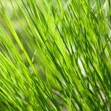 Свежая и сочная трава Стоковая Фотография