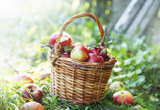 Свежая корзина яблок в саде Стоковое Фото