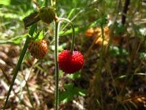 Свежая клубника в лесе Стоковые Изображения