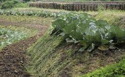 Свежая листовая капуста сжатая на органическом саде Стоковые Фотографии RF
