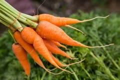Свежая морковь младенца Стоковые Изображения