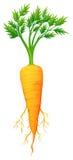 Свежая морковь с листьями и корнем Стоковое Изображение RF