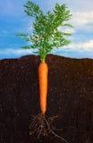 Свежая морковь Стоковая Фотография RF