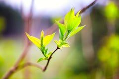 Свежая молодая ветвь сирени с малыми листьями Стоковые Изображения RF