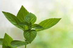 свежая мята листьев Стоковое Изображение