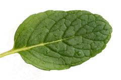 свежая мята листьев Стоковая Фотография RF