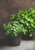 Свежая мята растя в баках над конкретной таблицей дома стоковая фотография