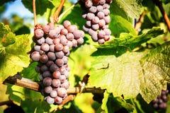 Свежая органическая виноградина на ветви лозы Стоковое Изображение