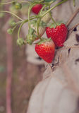 Свежая органическая клубника на дереве в саде Стоковая Фотография