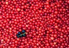 Свежая очень вкусная органическая красная смородина как предпосылка Стоковая Фотография RF
