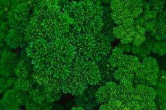 свежая петрушка Стоковое Изображение RF