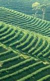 Свежая плантация чая на террасном, Чиангмай, Таиланд Стоковое Фото