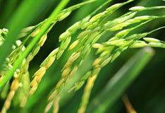 Свежая рисовая посадка неочищенных рисов Стоковые Фотографии RF