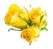 Свежая роза желтого цвета изолированная на белой предпосылке Путь клиппирования Стоковое Изображение