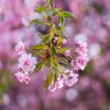 Свежая розовая ветвь цветков Сакуры Стоковые Изображения