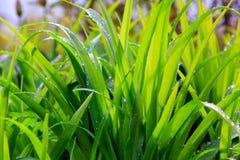 Свежая роса на крупном плане зеленой травы Стоковые Изображения RF