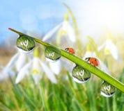 Свежая роса утра на зеленой траве и ladybirds Стоковые Фотографии RF