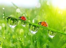 Свежая роса утра на зеленой траве и ladybirds Стоковое Фото