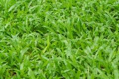 Свежая текстура и предпосылка зеленой травы Стоковые Изображения