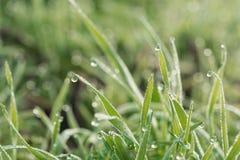 Свежая трава весны покрытая с росой утра Стоковые Фотографии RF