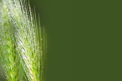 Свежая трава после дождя, ушей с падениями воды стоковые фотографии rf