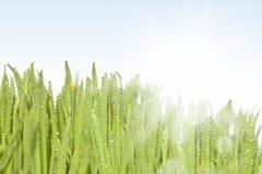Свежая влажная трава в лучах солнца. Стоковые Фото