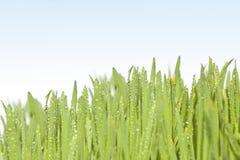 Свежая трава с падениями росы. Стоковое Фото