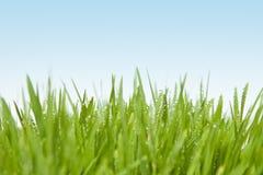 Свежая трава с падениями росы Стоковое Фото